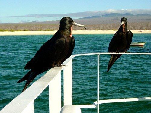 FRAGATE BIRDS